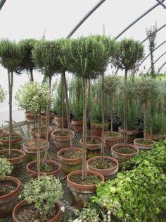Topiary  xo--FleaingFrance