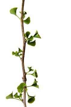 shrek ears or ginkgo leaves? (mary jo hoffman)