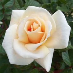 BRINDABELLA PEARL has stunning pearl white blooms with a hint of apricot, a super bushy rose with masses of foliage means this rose is suitable for an evergreen hedge in areas that are frost free. It is part of the Black Spot Buster Roses range ideal for hot humid areas.  Bred and trialled in QLD, the%...