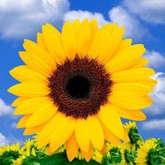 Sunflower. Natural blooming season: Summer. Relative cost: Low-Mid