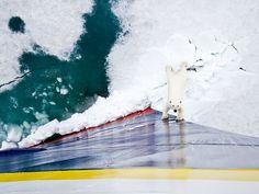 Curious polar bear