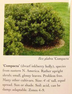 Evergreen shrub for shade