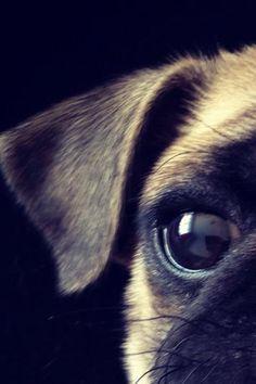 Close-up pug