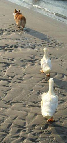 Duck, duck, corgi!