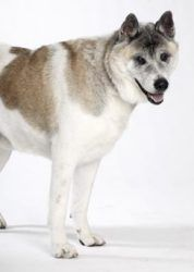 King George is an adoptable Akita Dog in Saint Louis, MO. King George came to Stray Rescue through our Pound Assistance Program. He was very sick. Thanks to the wonderful care of our vet staff, King G...