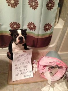 Dog Shamed Boston Terrier....this is what my Zelda looks like when she is shamed too lol