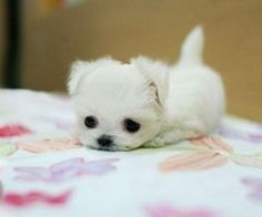 maltese baby