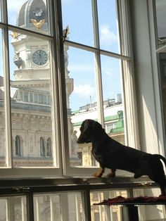 Gustav watching out - Gustav's Dachshund World and friends