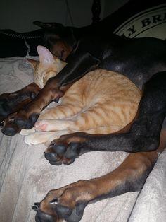 His doberman and rescue kitten always sleep like this. - Imgur