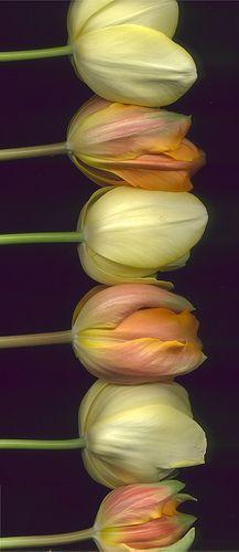 ~~ Tulips 381 ~~