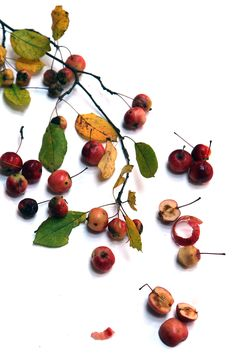 wild apples (mary jo hoffman)