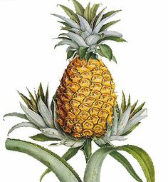 """Growing Pineapples from the leafy Top"""