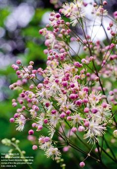 Thalictrum 'Elin' Airy sprays of lavender and cream, late summer flowers decorate border filling clumps of fern-like, grey-green foliage. 2.4meters 3-7b
