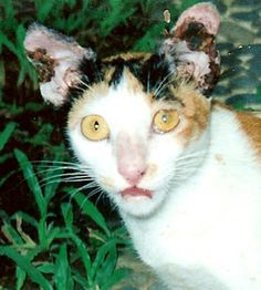 This is Chokdi which means lucky in Thai. Thrown from a window as a kitten and suffering with entropion and a flesh eating skin disease, she was not well named.