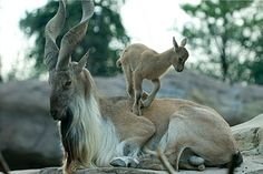 Male markhor and kid