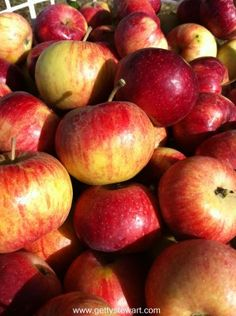 Minnesota apples, a sweet and juicy fall apple that stores well. How to know when apples are ripe for picking.