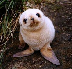 Adorable baby seal