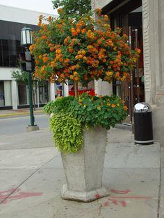 BirmPots (16) How to grow Latana as a tree