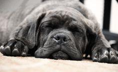 Baby Cane Corso a.k.a. Italian Mastiff