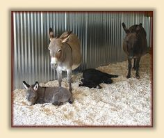 Care of the Miniature Donkey