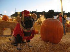 Monkey pug at the pumpkin patch by winnie, via Flickr