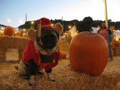 Monkey pug at the pumpkin patch by winnie, via Flickr