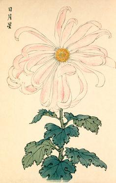 Printed illustration of a chrysanthemum variety 'Jitsu Getsu shi' taken from the Japanese publication A Hundred Chrysanthemums by K Hasegawa. Creator Hasegawa, Keikwa (Author) Date 1891