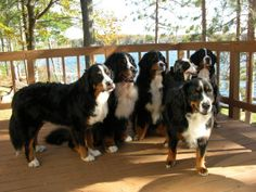Bernese Mountain Dogs are sooo pretty!