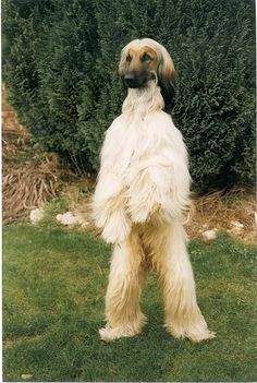 Afghan Hounds stand up like this to see better ~ sometimes causing Yeti sitings.