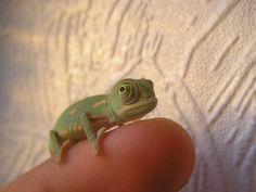 baby chameleon!