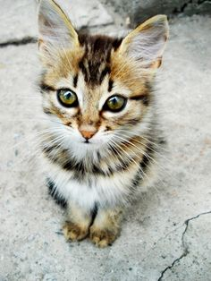 Gimme!   What a gorgeous kitten....will become a beautiful cat...