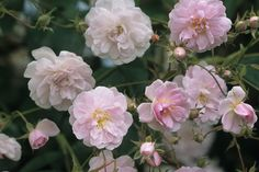 Rosa 'Paul's Himalay