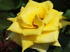 St Patrick's Day Photo Shoot - Yellow Rose - Livingston, TX