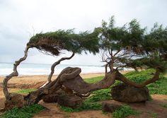 """A windblown tree, Kauai."" (From: 30 Beautiful Photos of the Hawaiian Islands)"