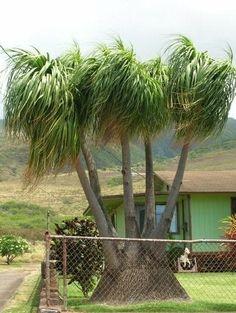 Ponytail Palm (Beaucarnea) plants for sale