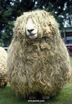 Devon long wool