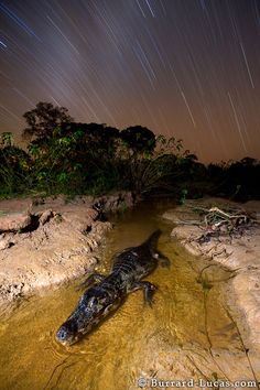 A #caiman at night in the Pantanal, Brazil. The caiman was waiting to ambush fish in this small stream. #crocodilian #reptile #biodiversity
