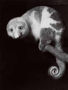 A shy Spotted Cuscus (a type of Possum), Taronga Park, Sydney, ca. 1954. Photo by Axel Poignant.