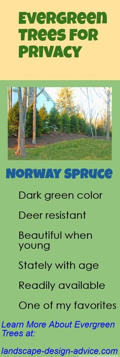 What are some of the best evergreen trees to use for privacy? Norway Spruce is one of my favorites, but there are many others. http://www.landscape-design-advice.com/evergreen-trees.html