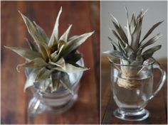 17 Apart: How To: Plant & Grow a Pineapple Top