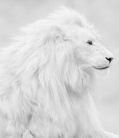 lion. #white