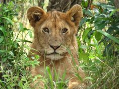 This photo of a lion cub in Masai Mara National Park in Kenya was submitted by Nancy Bragg. See more great shots: http://on.msnbc.com/JDYQlI