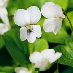Violet: A prolific self-seeding perennial that tolerates clay soils, it's happiest in partial sun and moist, well-drained beds. Plant it in spring or fall from seed or transplants. For variations on the violet theme, look for 'Freckles,' pale with purple speckles, or the snowy white 'Albiflora' (shown).   Photo: Tommy Tonsberg/GAP Photos
