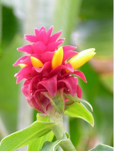 There are many tropical flora to see #tropics #jamaica #flowers