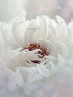 spring flowers, white flowers, phone wallpapers, dahlias, white rooms, angel flower, thing flower, blossom, white dahlia