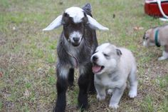 a baby goat makes a new friend