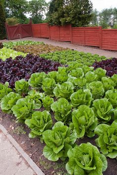 Red lettuce, green lettuces, heads of lettuce in fenced vegetable garden, in rows growing, wide view of many salad plants, with red fence, g...