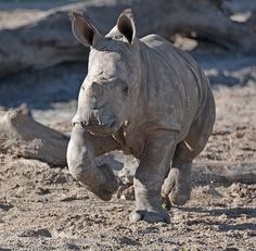 """When white rhino Kidogo gave birth last October in #Tampa, her calf was given the African name Khari, which can be interpreted to mean """"king-like."""""""