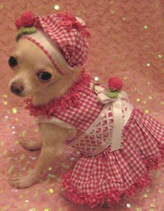 All dressed up!    #cute #funny #adorable #dogs