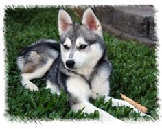 "Alaskan Klee Kai. A miniature husky bred from Spitz dogs and Siberian huskies.  Not to be confused with a ""pomsky"" (pomeranian/husky cross), even though poms are a type of Spitz dog.  Soooo cute!"